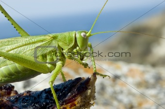 green locust eating meat