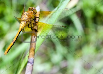 Adult Dragonfly