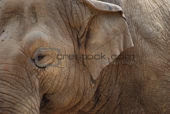 Asain Elephant (Elephas maximus)