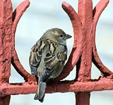 sparrow rests on red fence