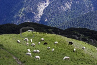 Alp Sheep