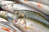 Sultan Fish